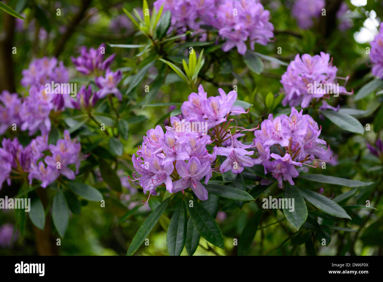 Rhododendron ponticum purple flowers flower flowering evergreen rhododendron ponticum purple flowers flower flowering evergreen green leaves foliage tree trees mightylinksfo