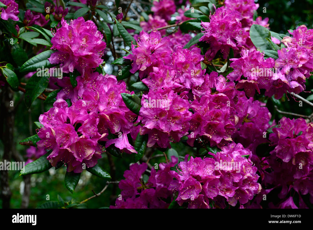 Rhododendron Royal Purple Flowers Flower Flowering Evergreen Green