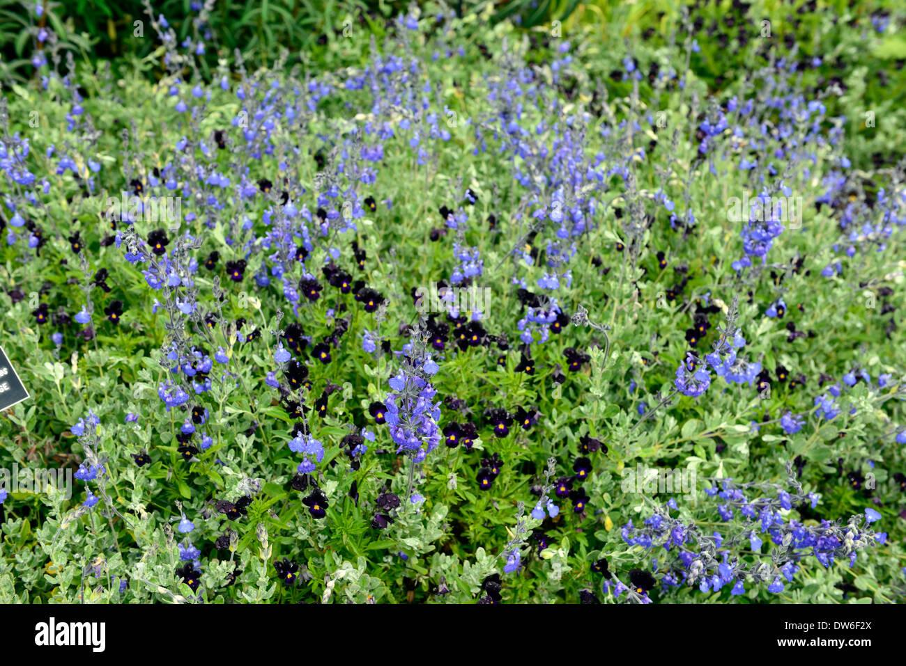 salvia chamaedryoides viola comuta blue black flower flowers plan planting combination partner sage sages violet violets - Stock Image