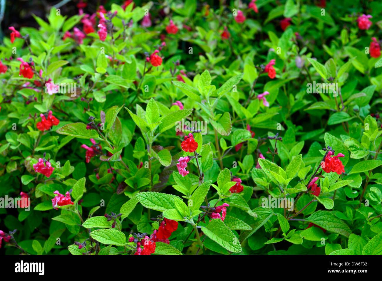 Salvia microphylla var neurepia red flowers green leaves foliage salvia microphylla var neurepia red flowers green leaves foliage sage sages perennials flowers flowering bloom mightylinksfo