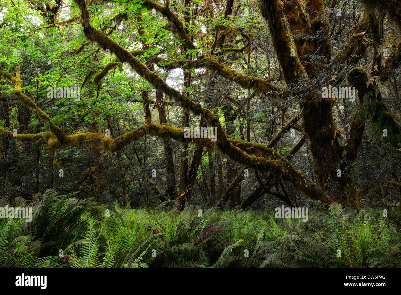 Undergrowth forest floor Del Norte Coast Redwood State Park sword fern polystichum munitum oxalis oregana coastal redwoods - Stock Image