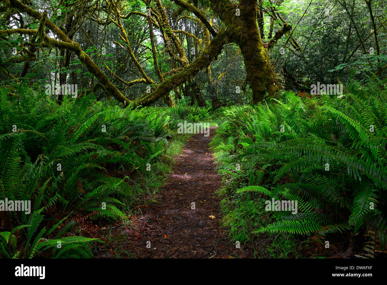 Trail Undergrowth forest floor Del Norte Coast Redwood State Park sword fern polystichum munitum oxalis oregana coastal redwoods - Stock Image