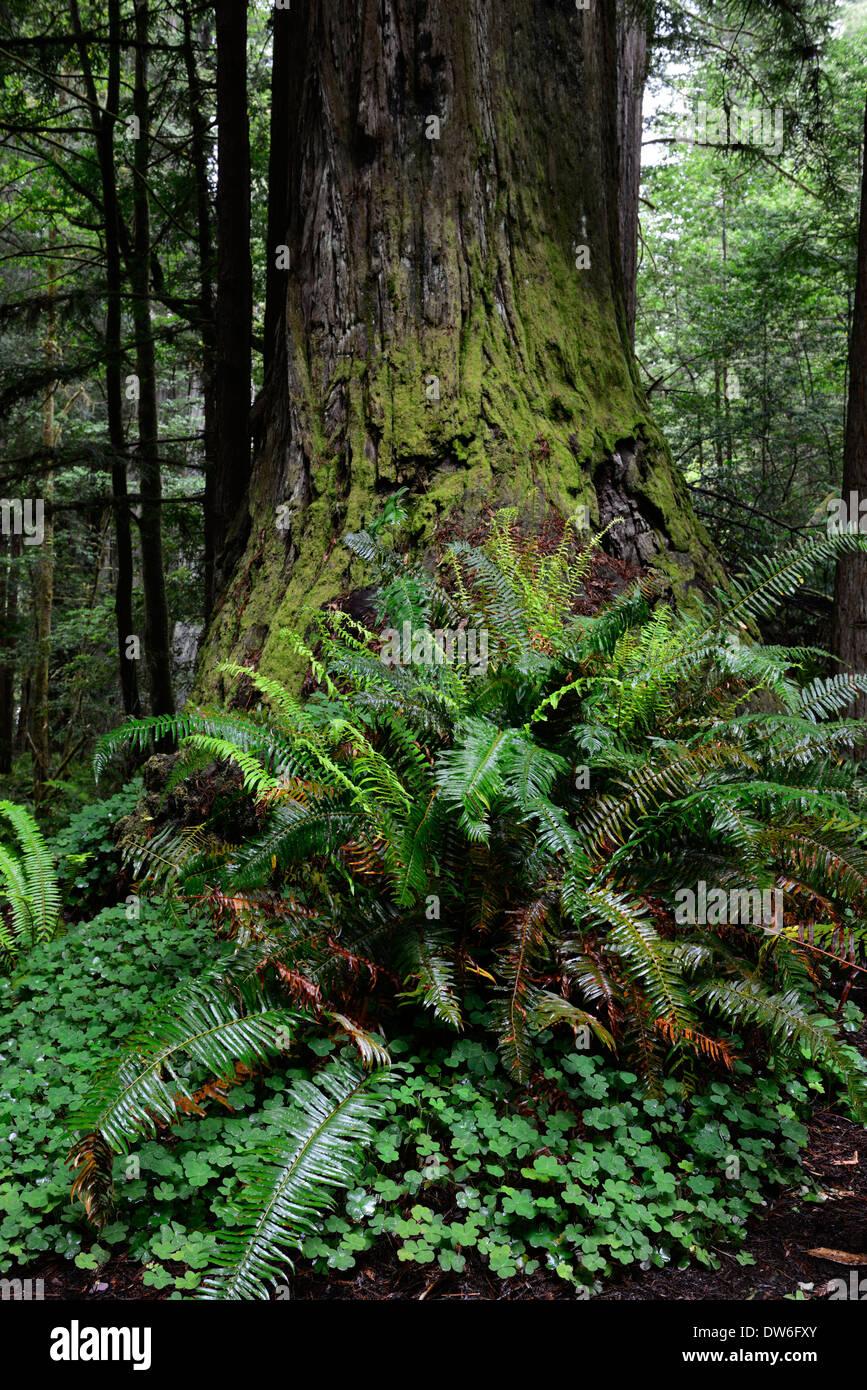 Undergrowth forest floor Del Norte Coast Redwood State Park sword fern polystichum munitum oxalis oregana coastal redwoods - Stock Image