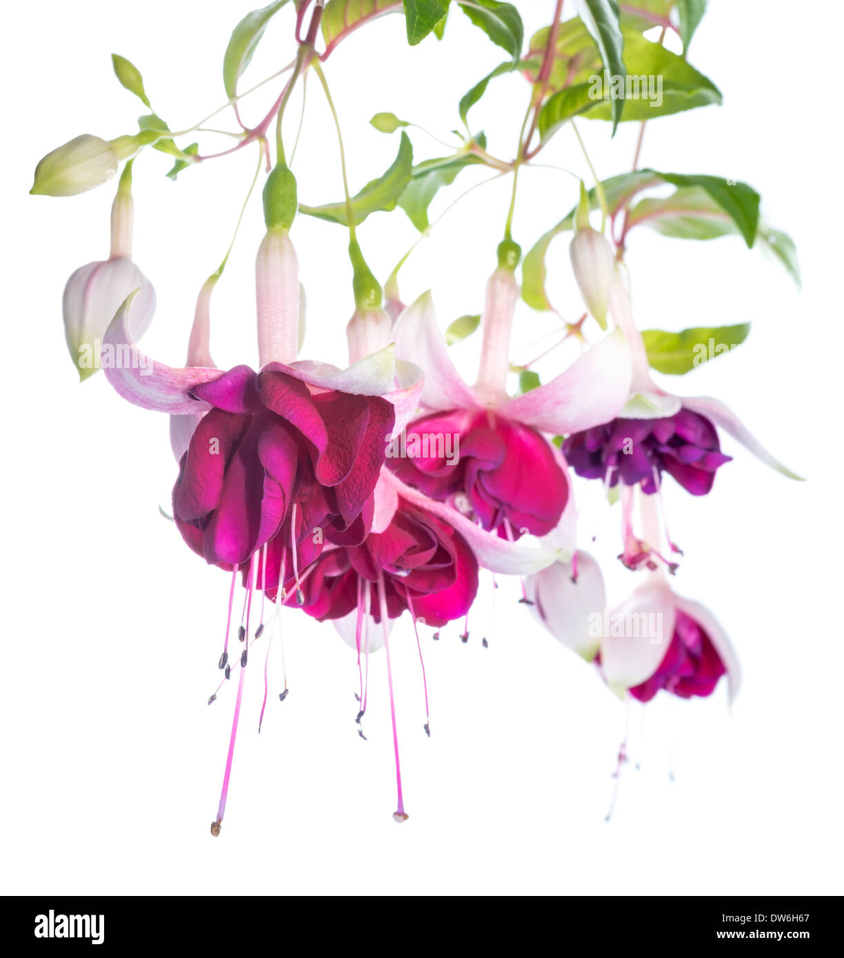Violet and pink fuchsia flower isolated on white background tamara violet and pink fuchsia flower isolated on white background tamara balyasnikova mightylinksfo
