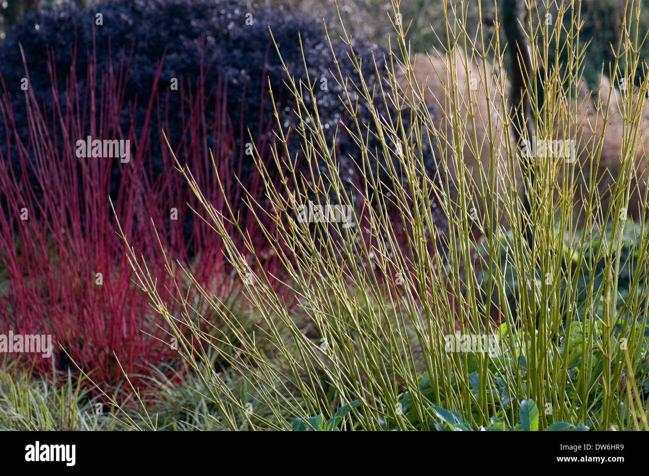 Winter border containing Cornus stolonifera 'Flaviramea', Cornus alba 'Sibirica' and Pittosporum tenuifolium 'Tom Thumb' - Stock Image