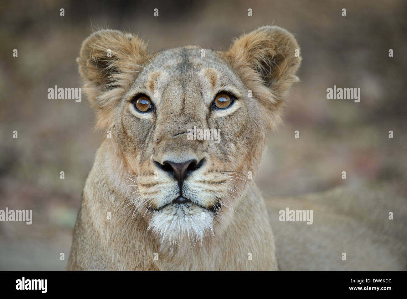 Young Cub poses in front of camera in Sasan Gir of Gujarat - Stock Image
