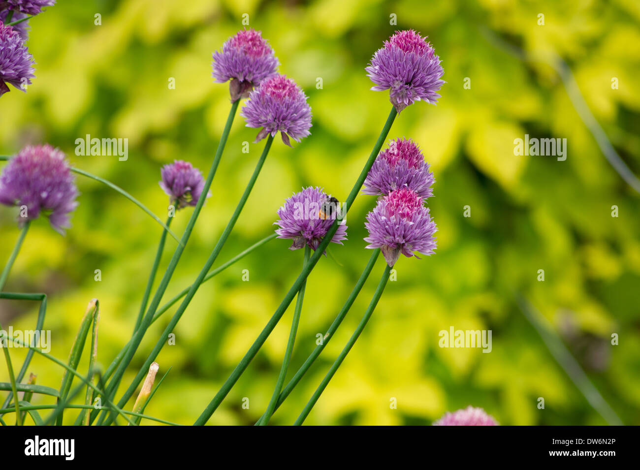 Chives growing on Allotment Stock Photo