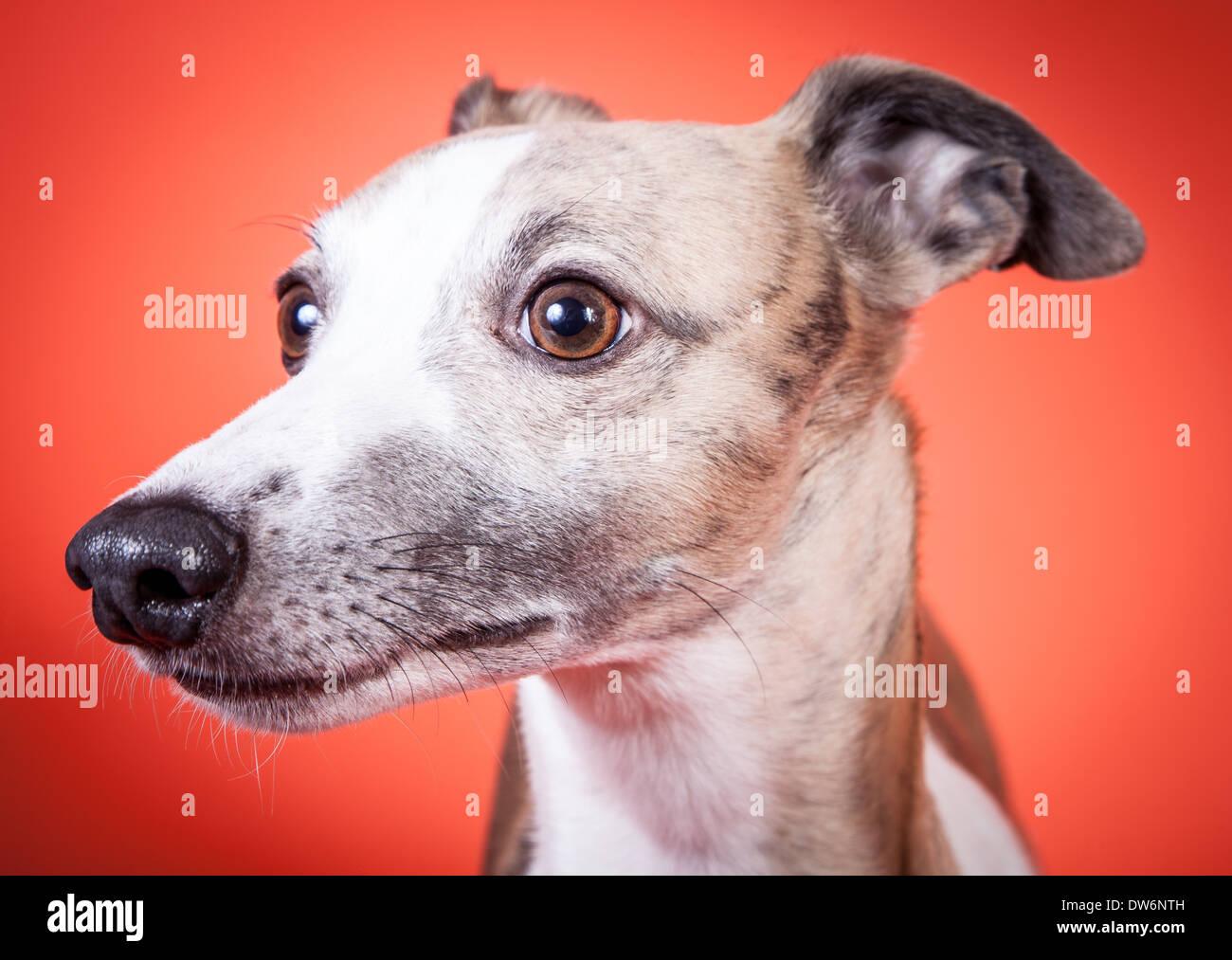 2fb88ee543632 Whippet dog portrait Stock Photo  67146369 - Alamy