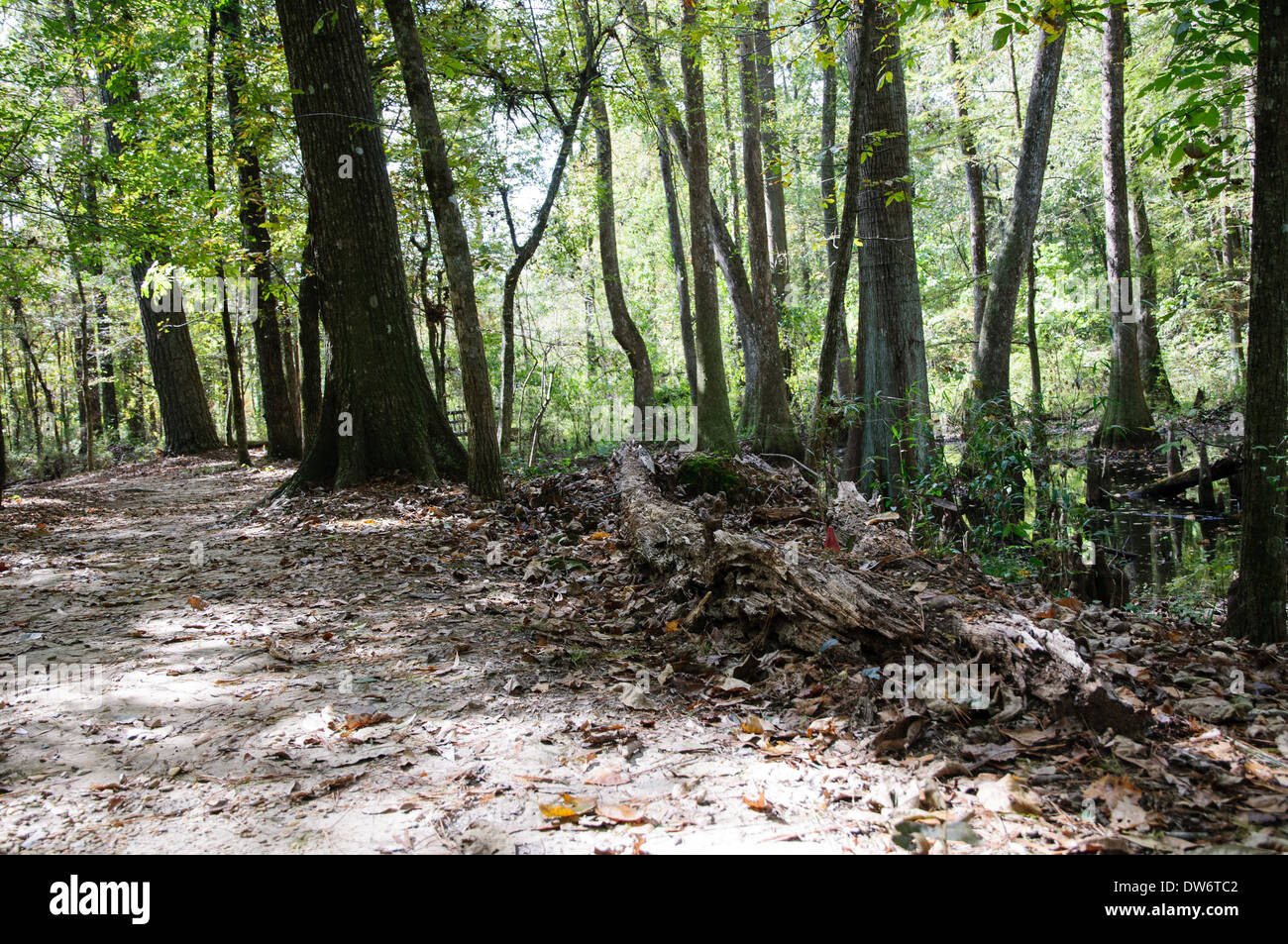 Landscape of of the under story vegetation of a swamp in along the Natchez Trace in Mississippi - Stock Image