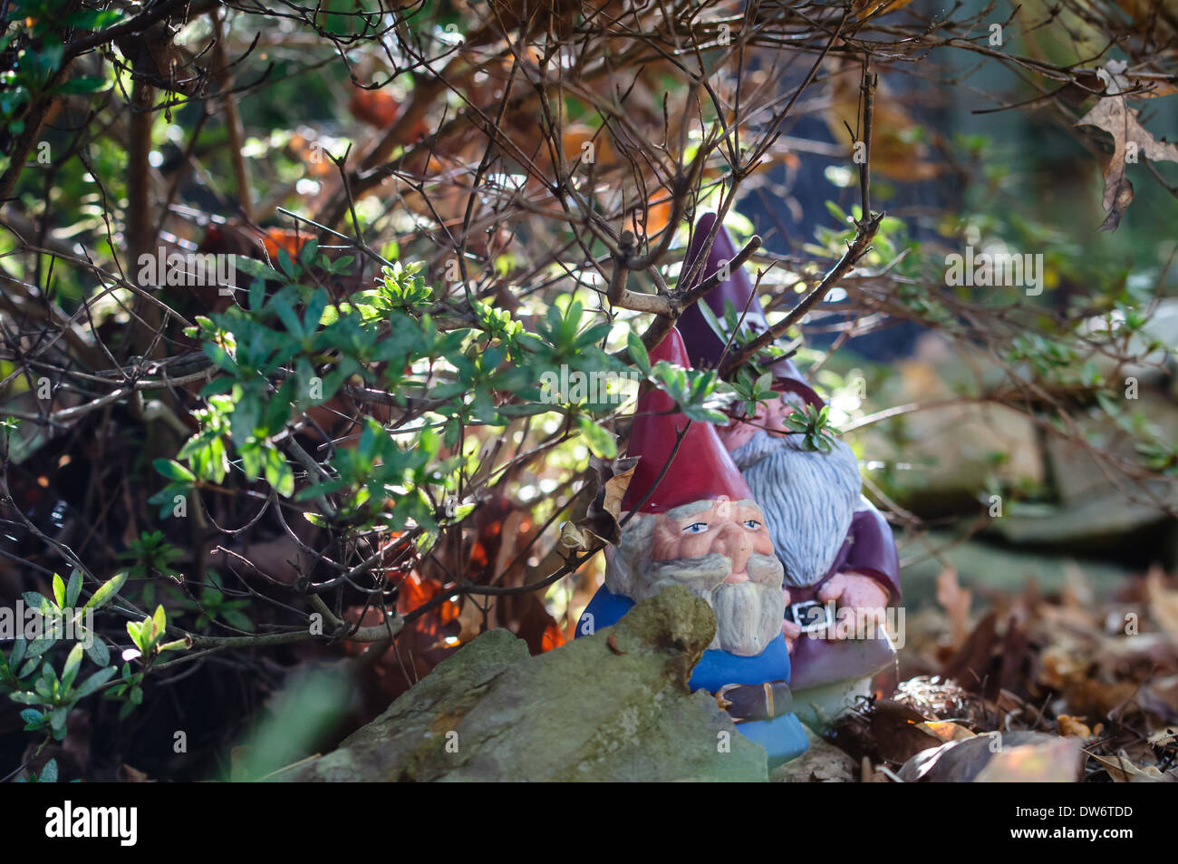 Small garden gnomes hiding in shrubbery outside - Stock Image