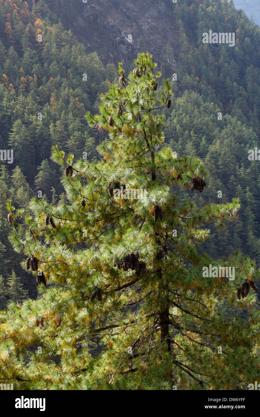Large pine cones on a pine tree in Nepal's Tsum Valley. - Stock Image