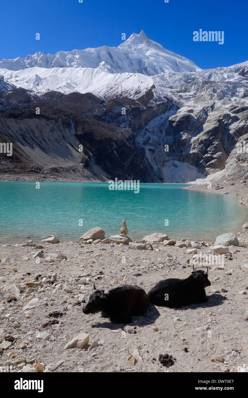 Yaks at Birendra Tal (Lake Birendra), Nepal. Manaslu peak is in the background. - Stock Image