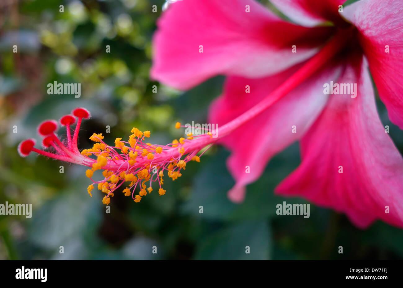 Asia hibiscus flower stock photos asia hibiscus flower stock hibiscus flower northern thailand stock image izmirmasajfo
