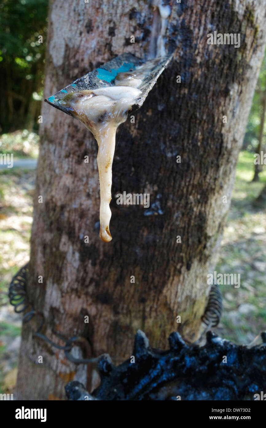 Rubber tapping on Koh Kood Island, Thailand. - Stock Image