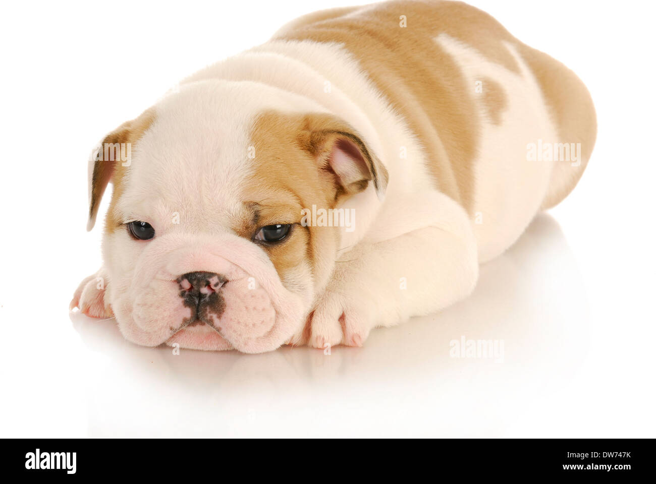 Puppy Growth English Bulldog Puppy High Resolution Stock Photography And Images Alamy