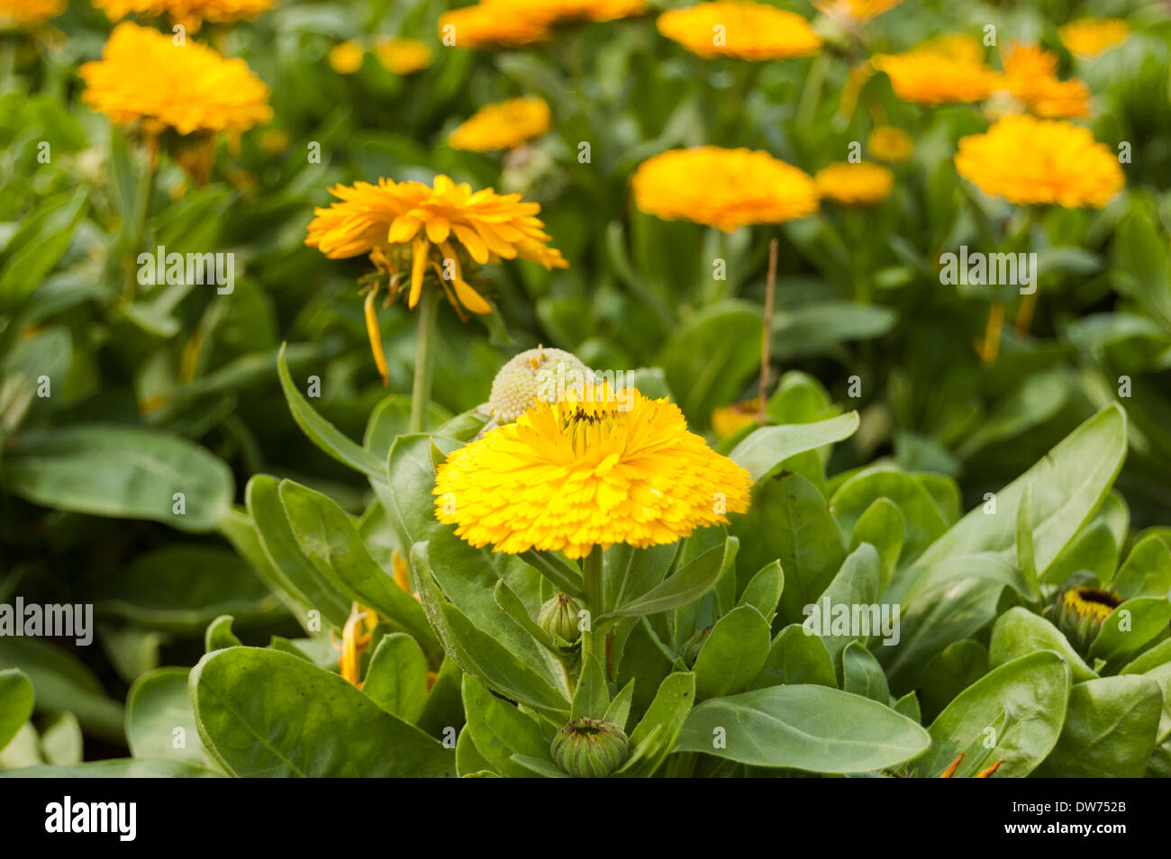 Close Up Of Yellow Flowers In A Park Stock Photo 67155155 Alamy