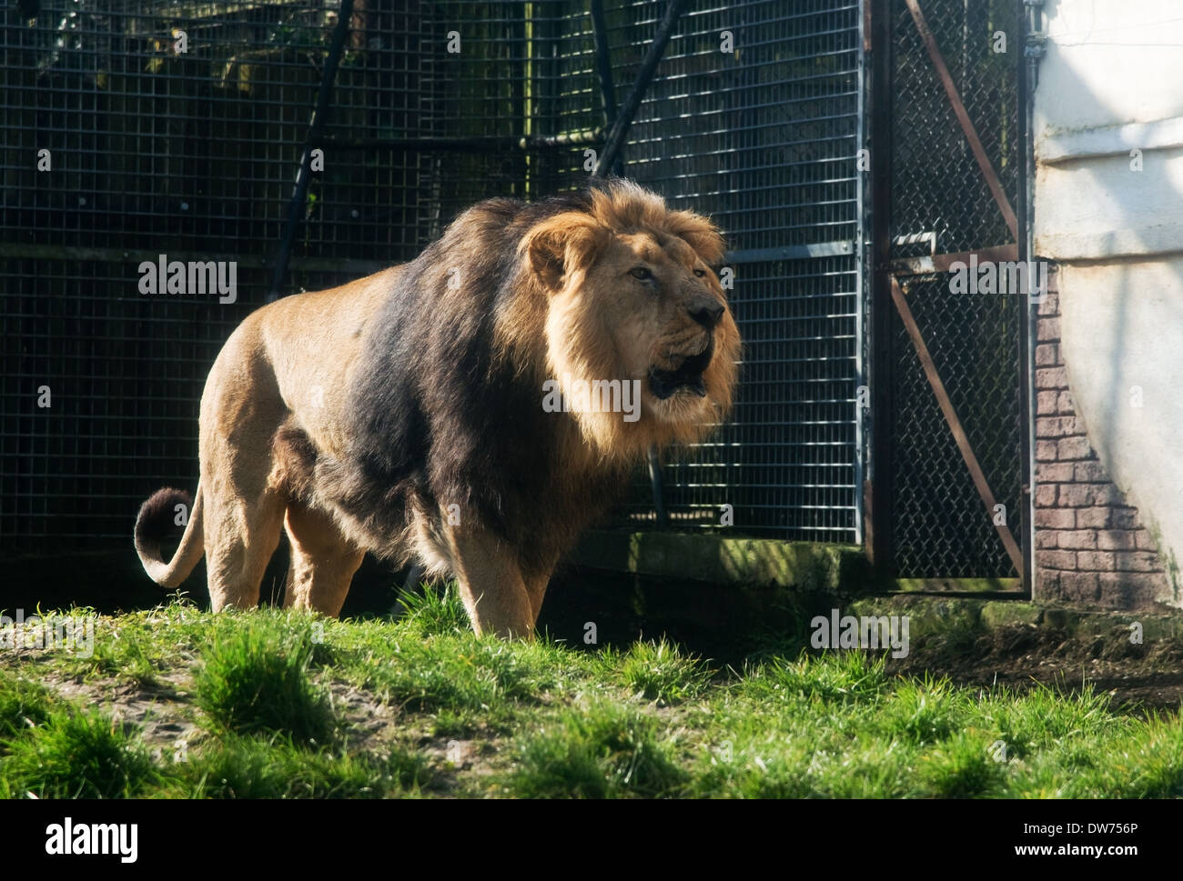 Male Lion at Chessington Zoo -1 - Stock Image