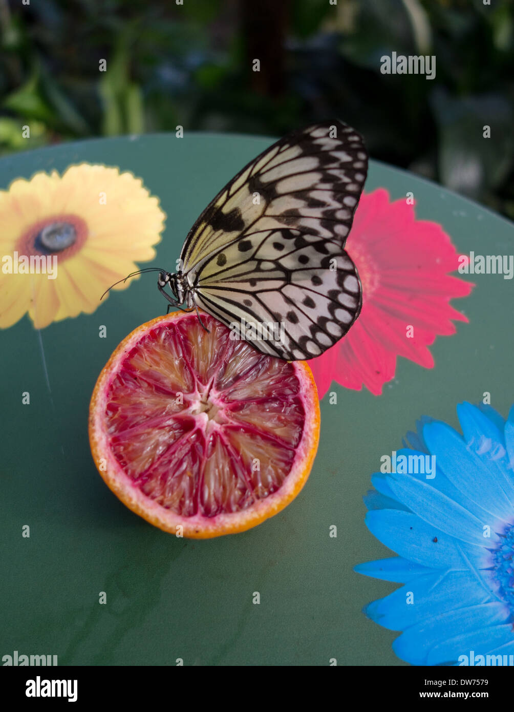 Tree Nymph Butterfly on a Blood Orange -1 Stock Photo