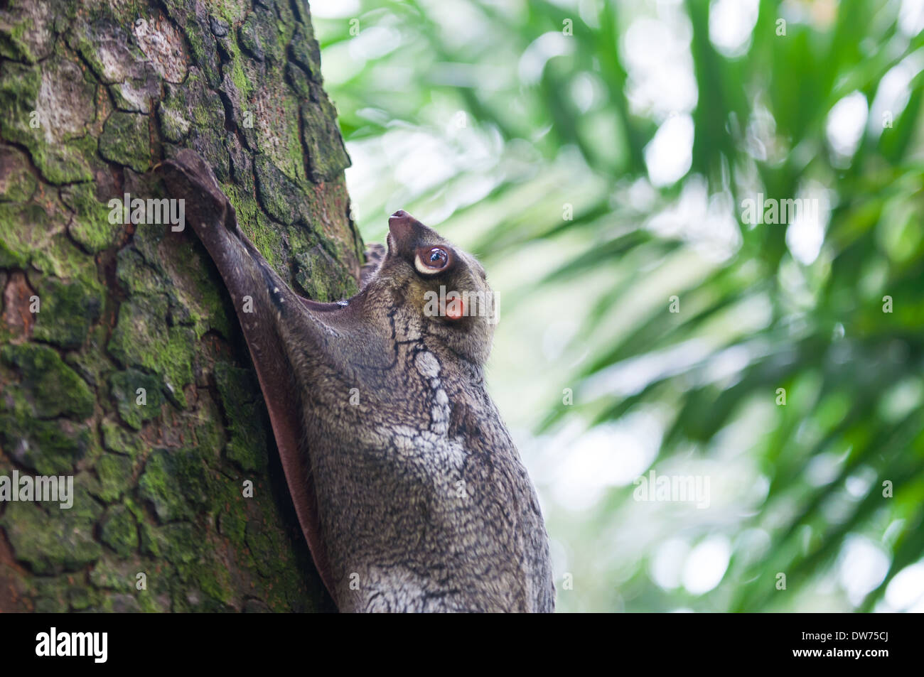 A Sunda flying lemur (Galeopterus variegatus) clings to a tree in the rainforests of Southeast Asia. - Stock Image