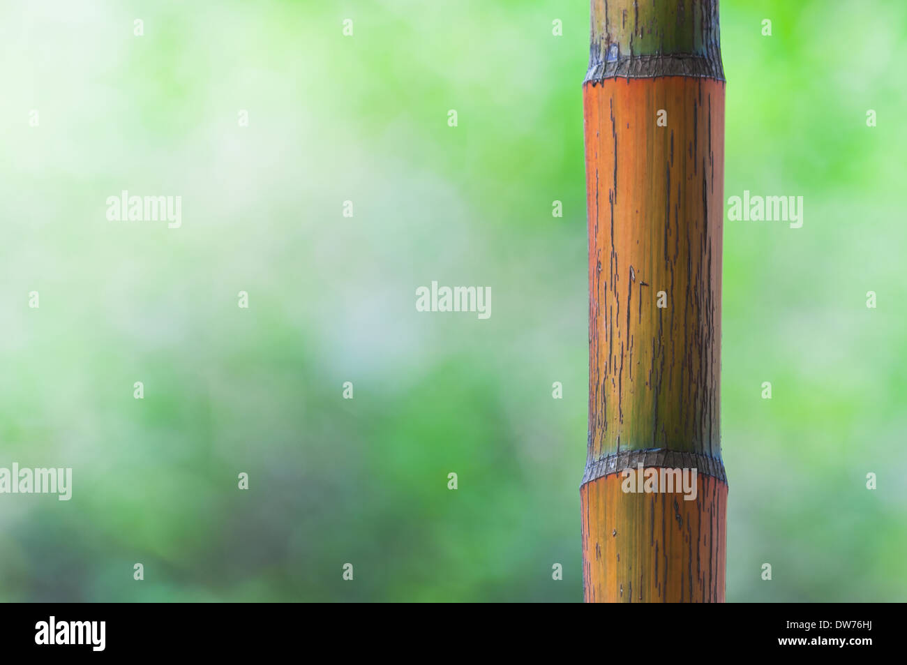 A bamboo stalk in the jungles of Southeast Asia. - Stock Image