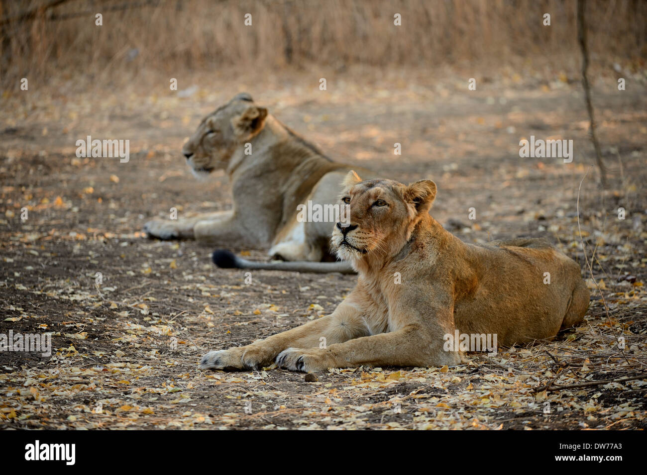 Young Lion Cubs relaxing after drinking water. - Stock Image