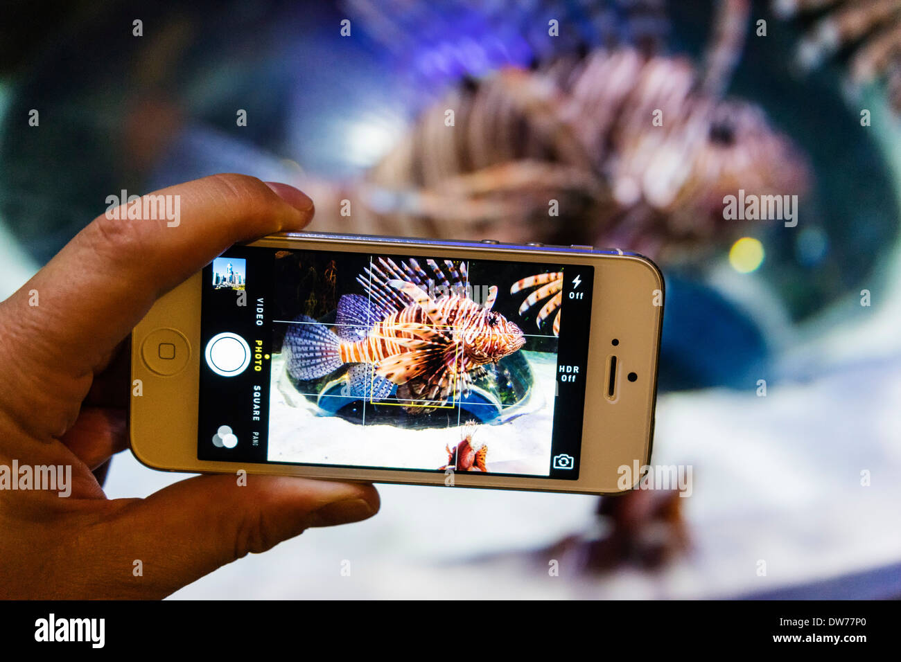 Photographing a Lionfish with camera phone at Underwater Zoo aquarium at Dubai Mall in United Arab Emirates - Stock Image