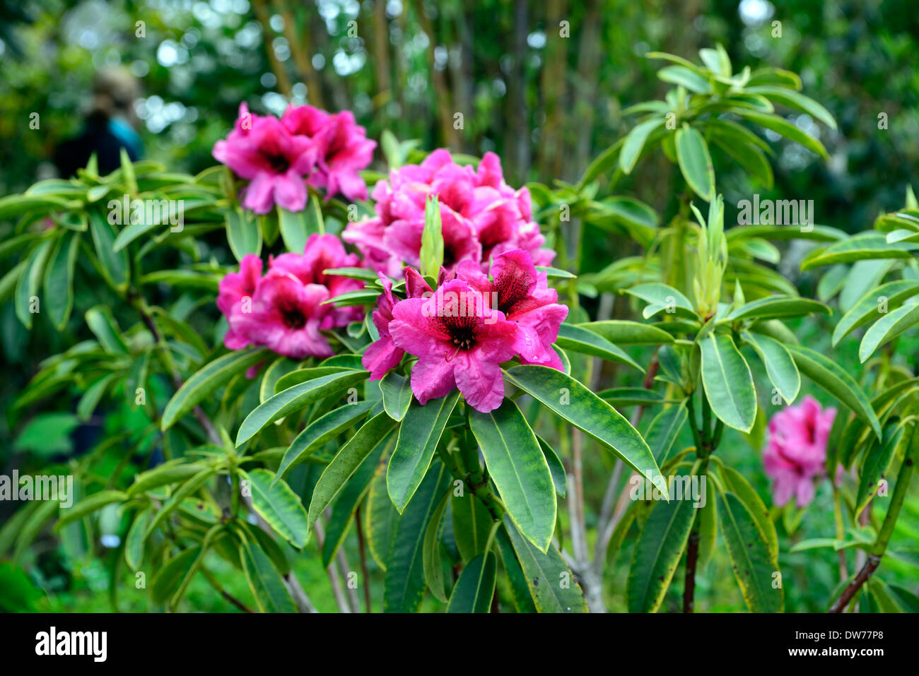 Rhododendron Midnight Pink Purple Flowers Flower Flowering Evergreen