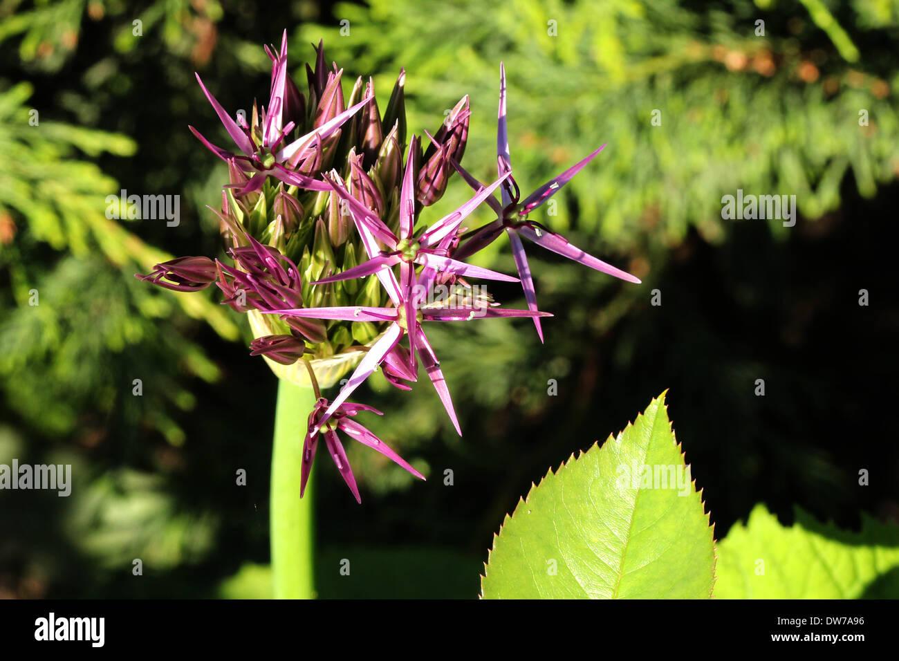 Purple Alium flower emerging against a conifer hedge - Stock Image