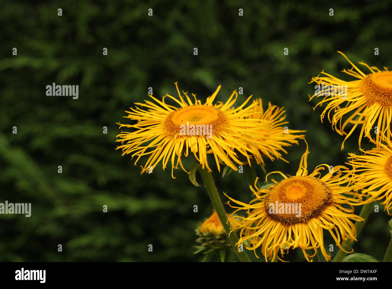 A group of yellow Inula flowers in front of a dark conifer hedge - Stock Image