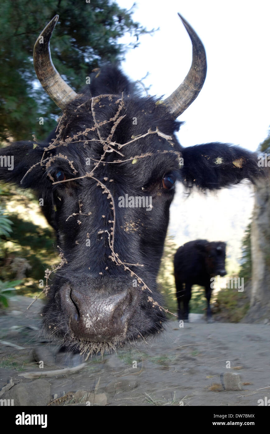 Cow along the Annapurna road with stickers in its hair, Nepal. - Stock Image