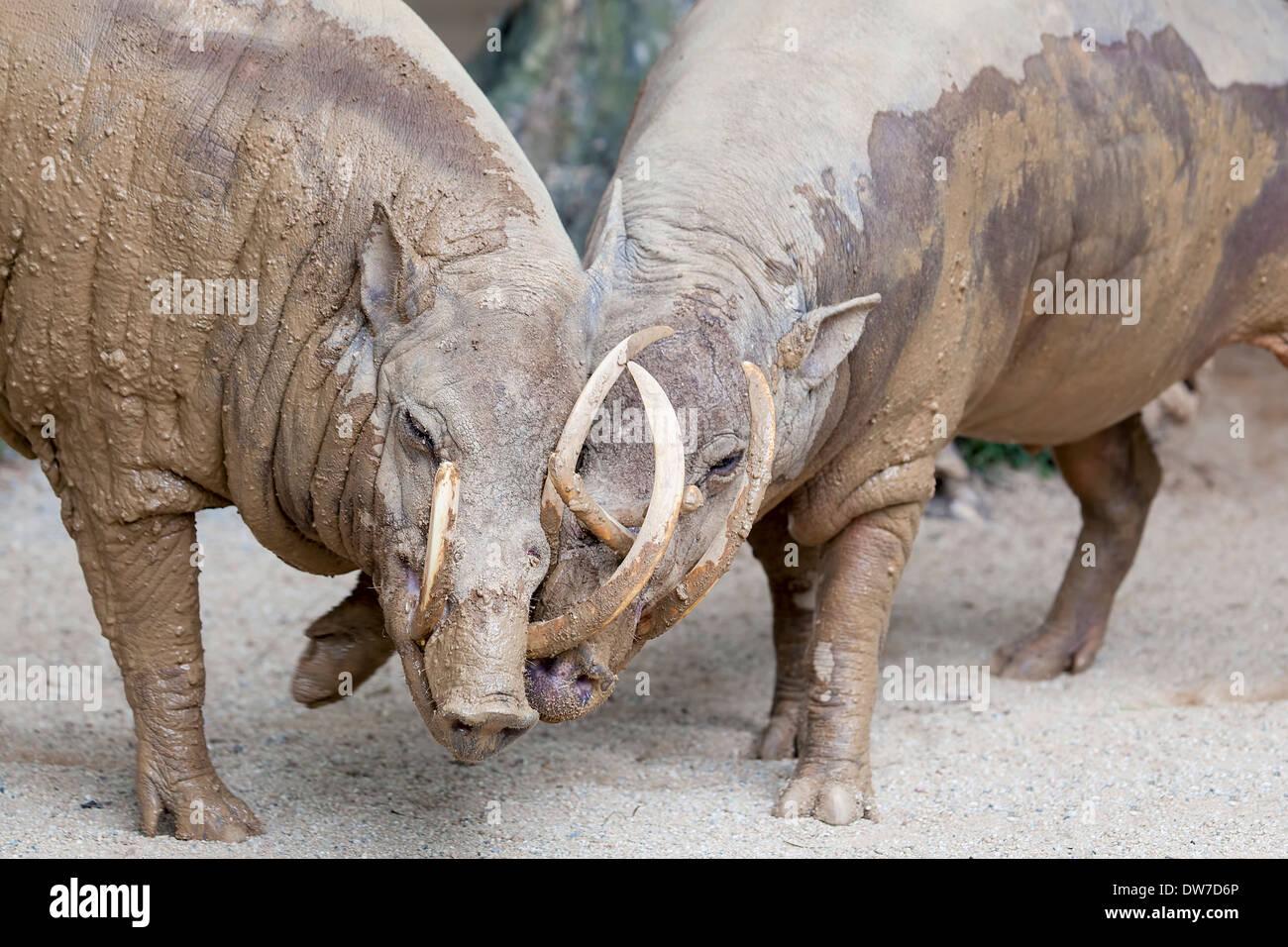 Babirusa Deer-Pig Wild Boar from Indonesia Pair Snuggling Closeup Portrait - Stock Image