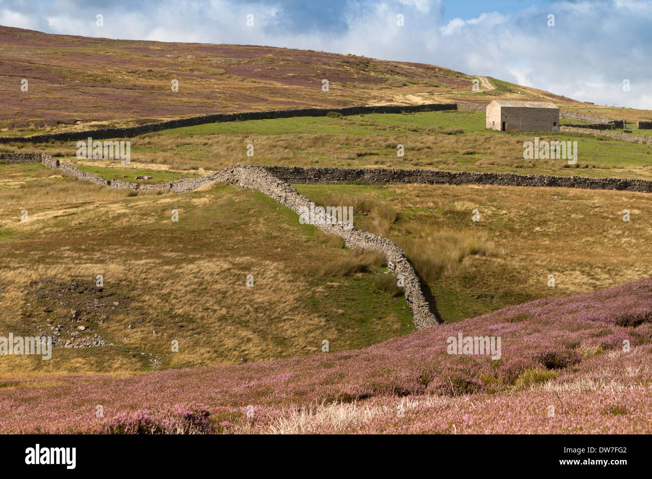 Heather Moors with Dry stone Walling between Arkengarthdale and Swaledale North Yorkshire - Stock Image