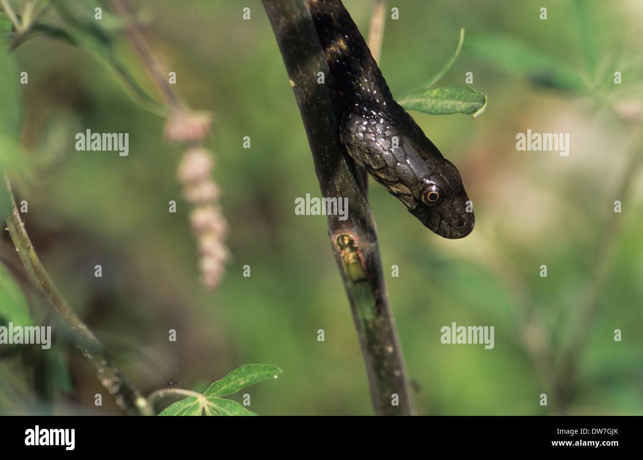 DICE SNAKE (Natrix tessellata) Lesbos Greece - Stock Image