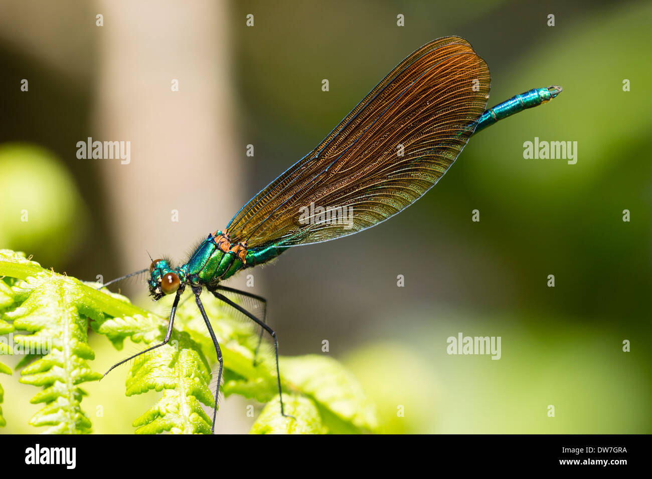 Immature male Beautiful demoiselle, Calopteryx virgo, showing brown rather than irridescent blue wings Stock Photo