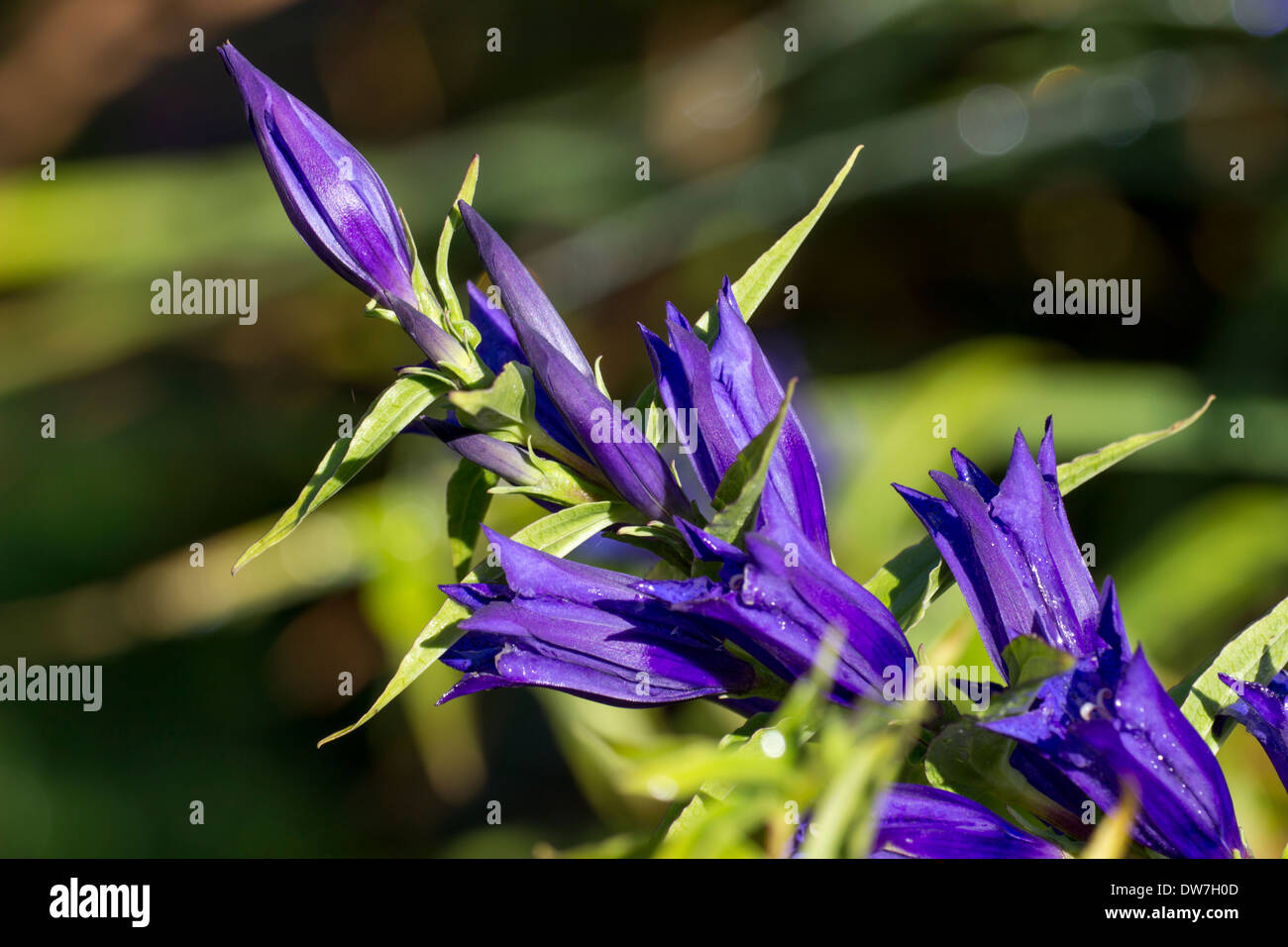 Close up of flowers of willow gentian, Gentiana asclepiadea. - Stock Image