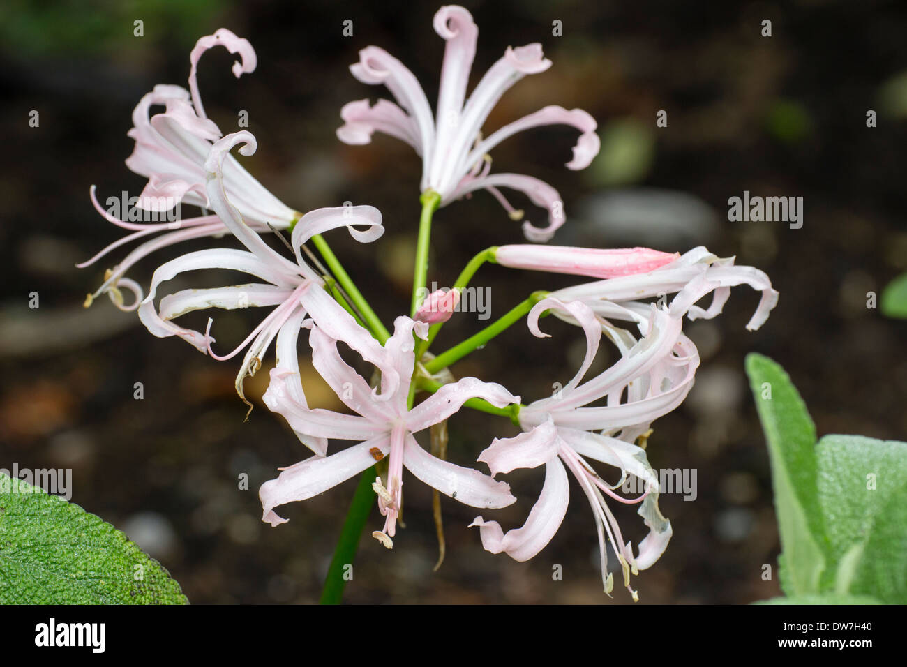 Single flower head of the narrow petalled pale pink Nerine bowdenii 'Stephanie' - Stock Image