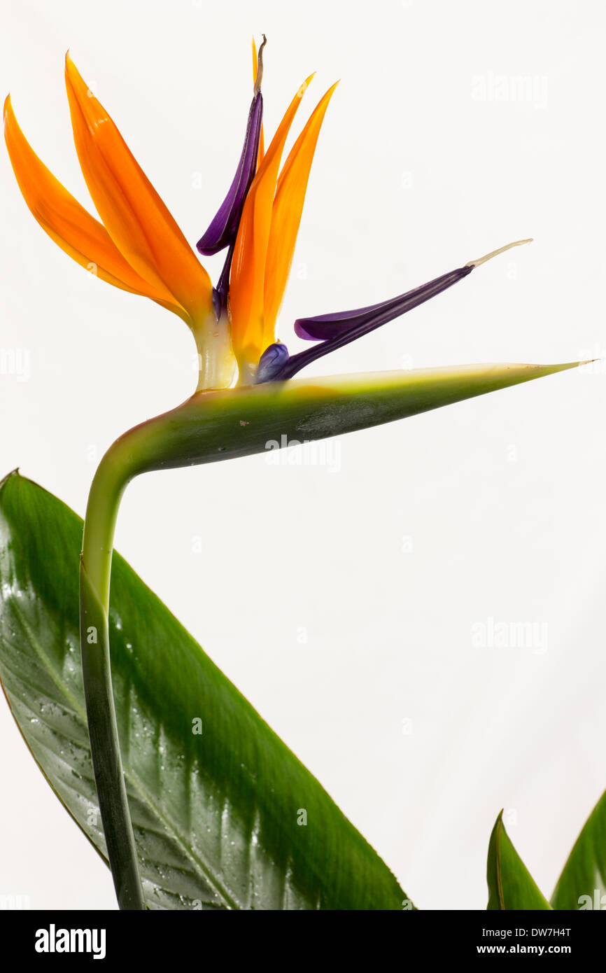 Portrait of the flower head of the bird of paradise plant, Strelitzia reginae, flowering indoors in a Plymouth garden - Stock Image