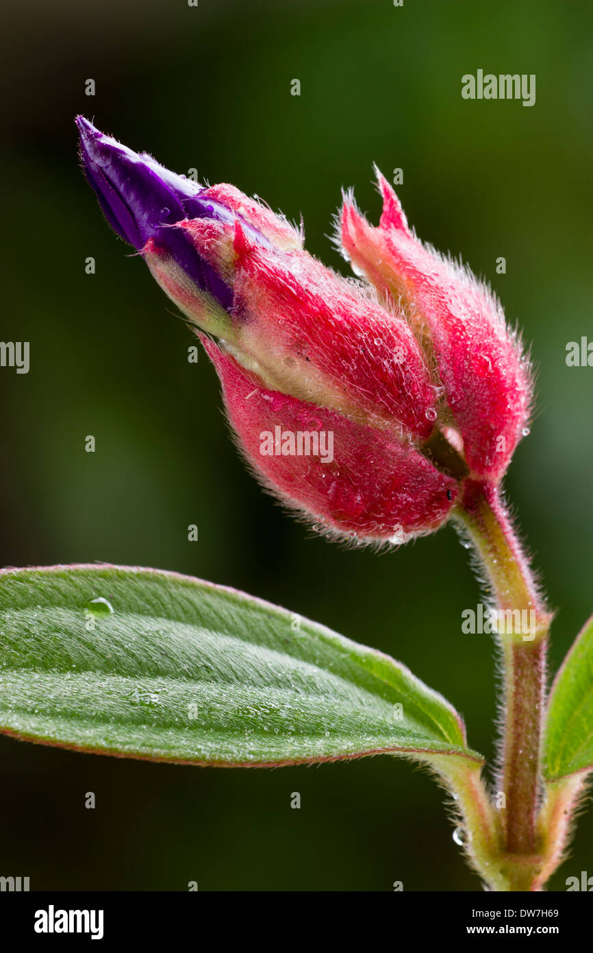 Purple petals are showing in the opening bud of Tibouchina organensis Stock Photo