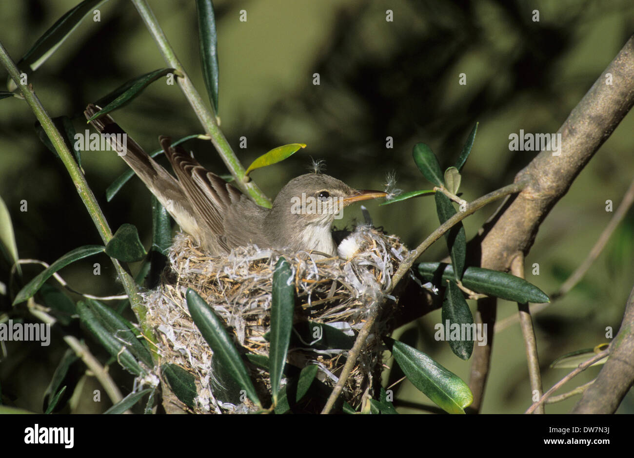 OLIVE-TREE WARBLER (Hippolais olivetorum) adult female sitting on nest in olive tree Lesvos Greece Stock Photo