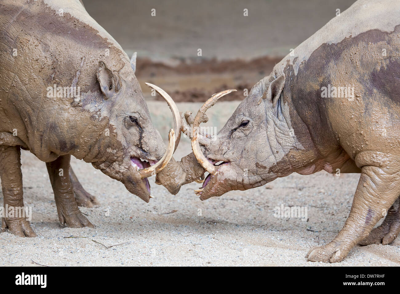 Babirusa Deer-Pig Wild Boar Pair Facing Each Other in Battle from Indonesia Closeup Portrait - Stock Image