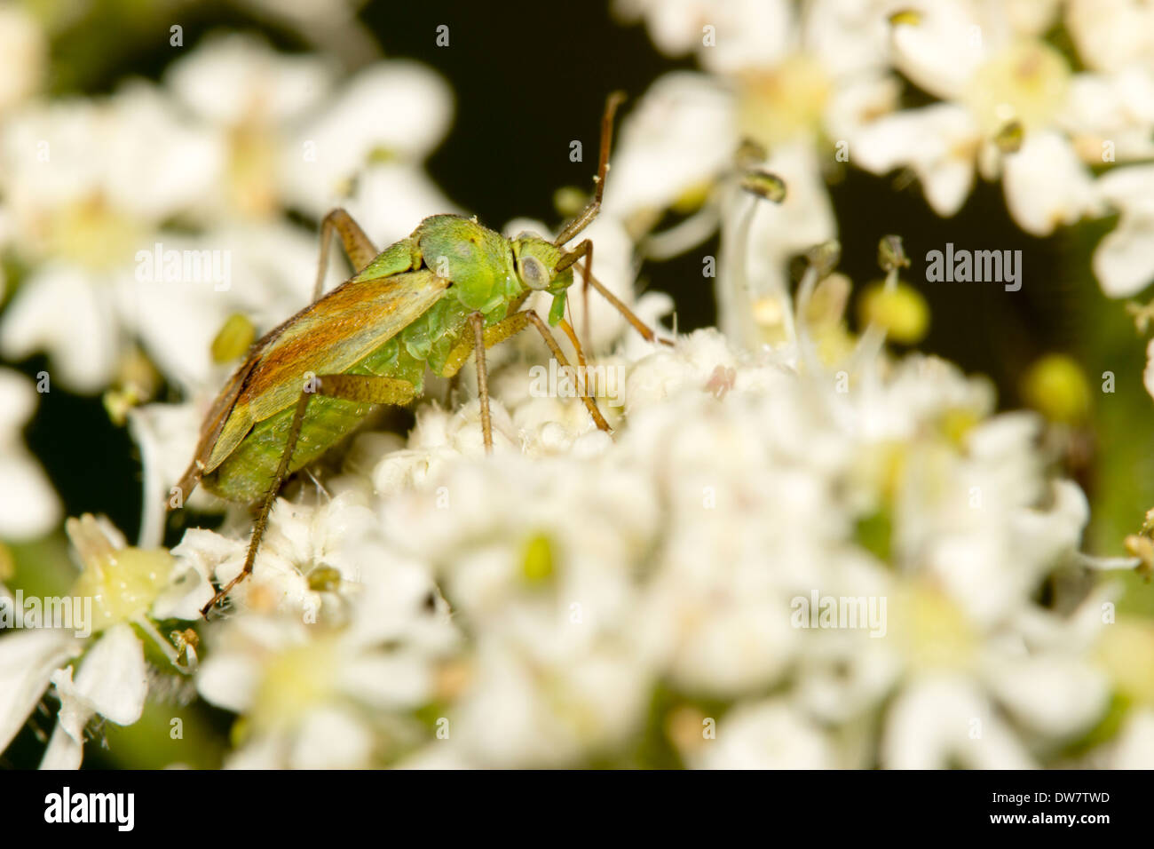 Male potato capsid bug, Closterotomus norwegicus, feeding on the flower heads of an umbellifer - Stock Image