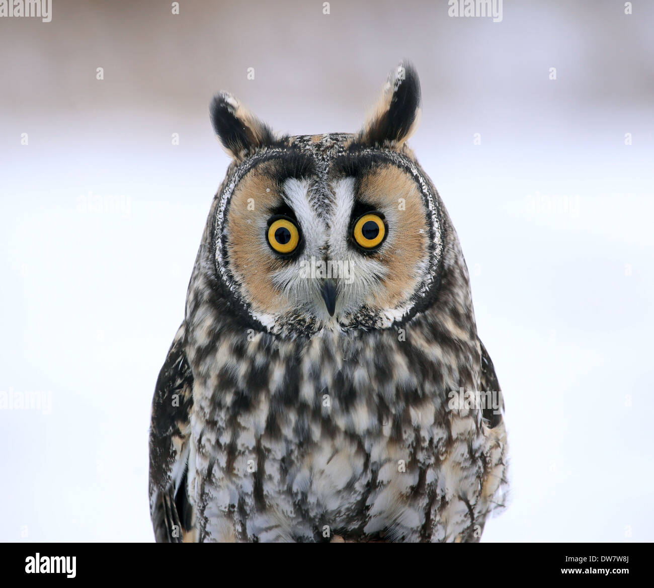 Long-eared Owl Face-to-Face - Stock Image