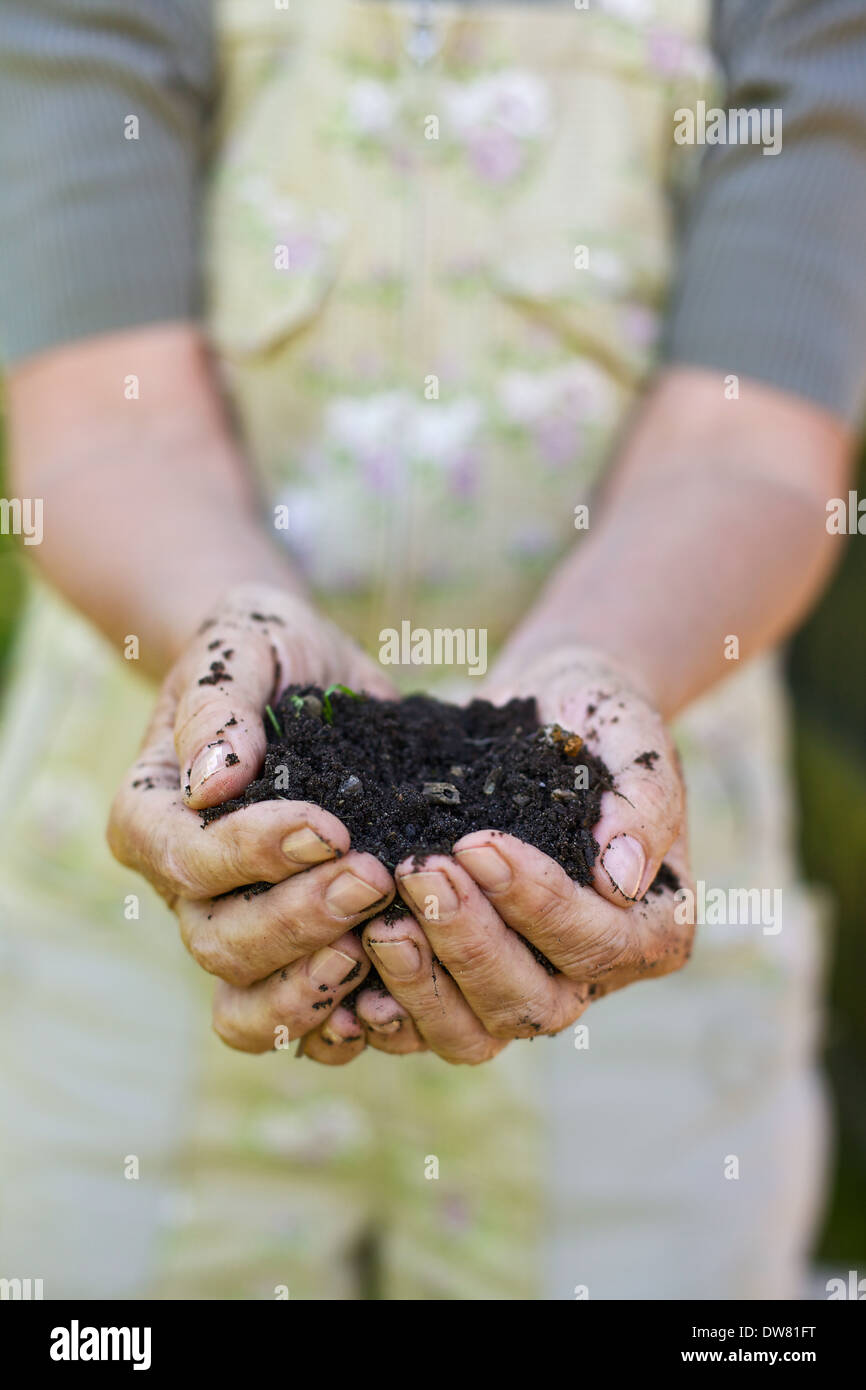 Closeup image of old woman hands holding compost. Senior female hands holding a handful of peat free compost - Stock Image