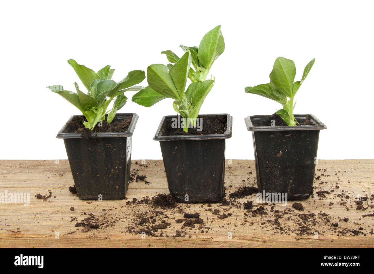 Broad Bean Seedlings In Plastic Pots On A Potting Bench Against A White  Background