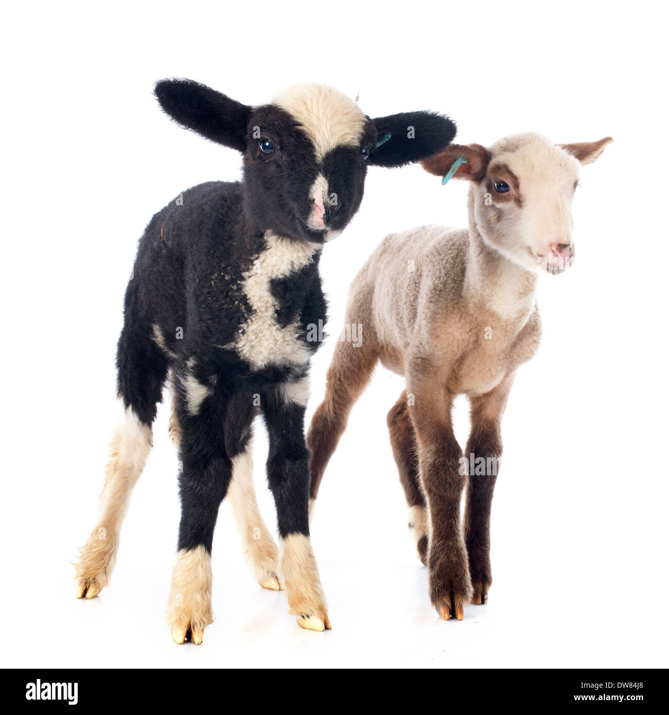 young lambs in front of white background - Stock Image
