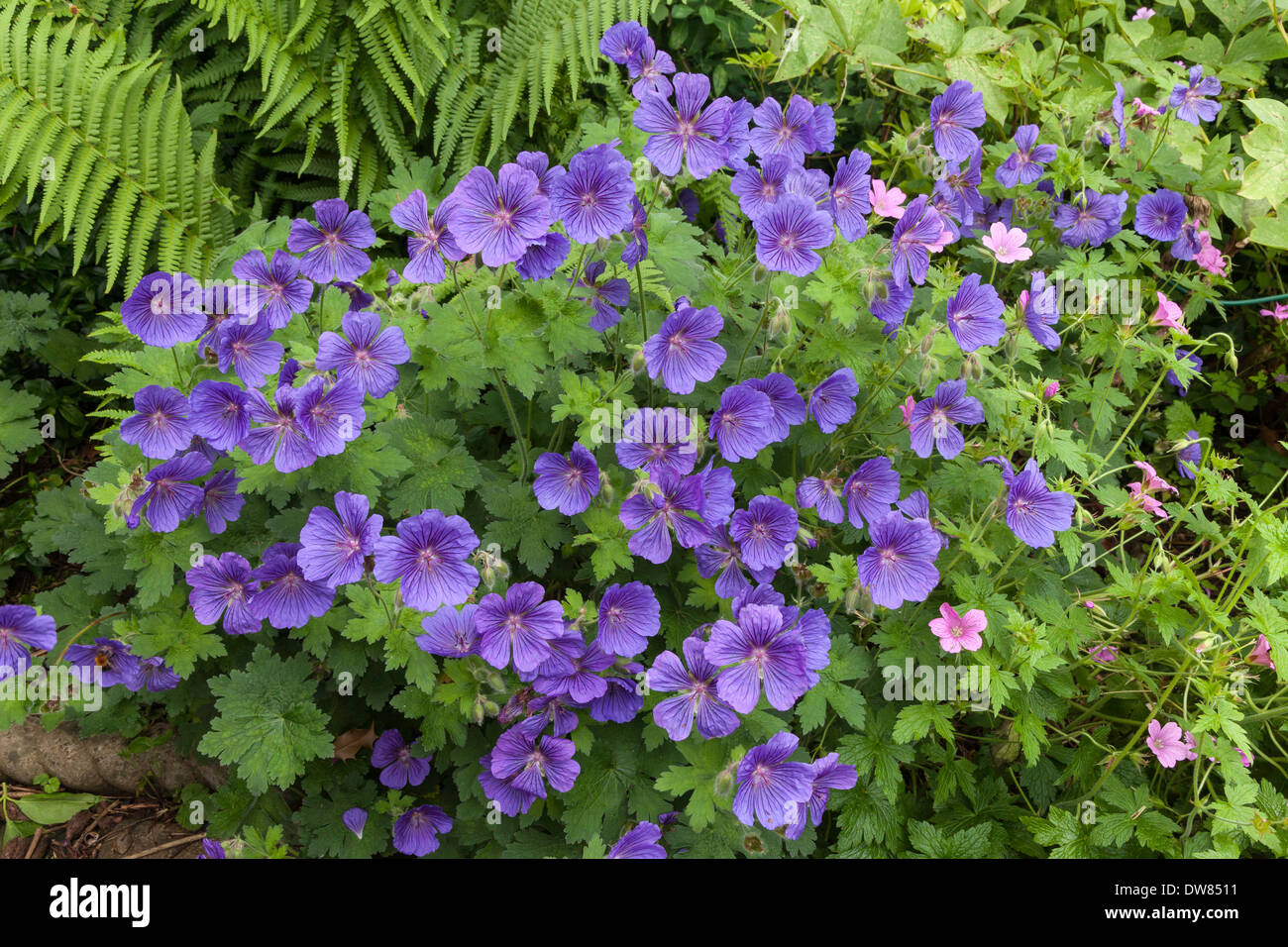BLUE GERANIUM IN FLOWER BED IN DOMESTIC GARDEN WITH PINK GERANIUM AND ERN. GLOUCESTERSHIRE ENGLAND UK - Stock Image