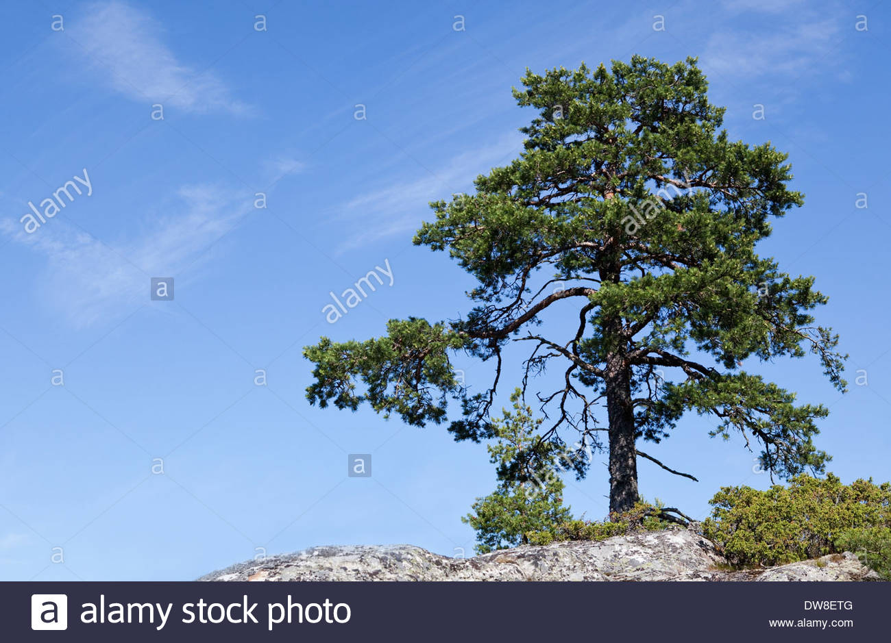 A Pine tree growing on a rocky island - Stock Image