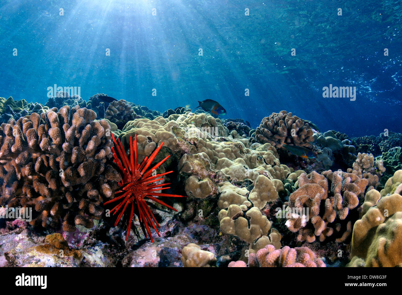 Healthy coral reef with a red slate pencil urchin, Heterocentrotus mamillatus, Molokini, Maui, Hawaii, USA - Stock Image