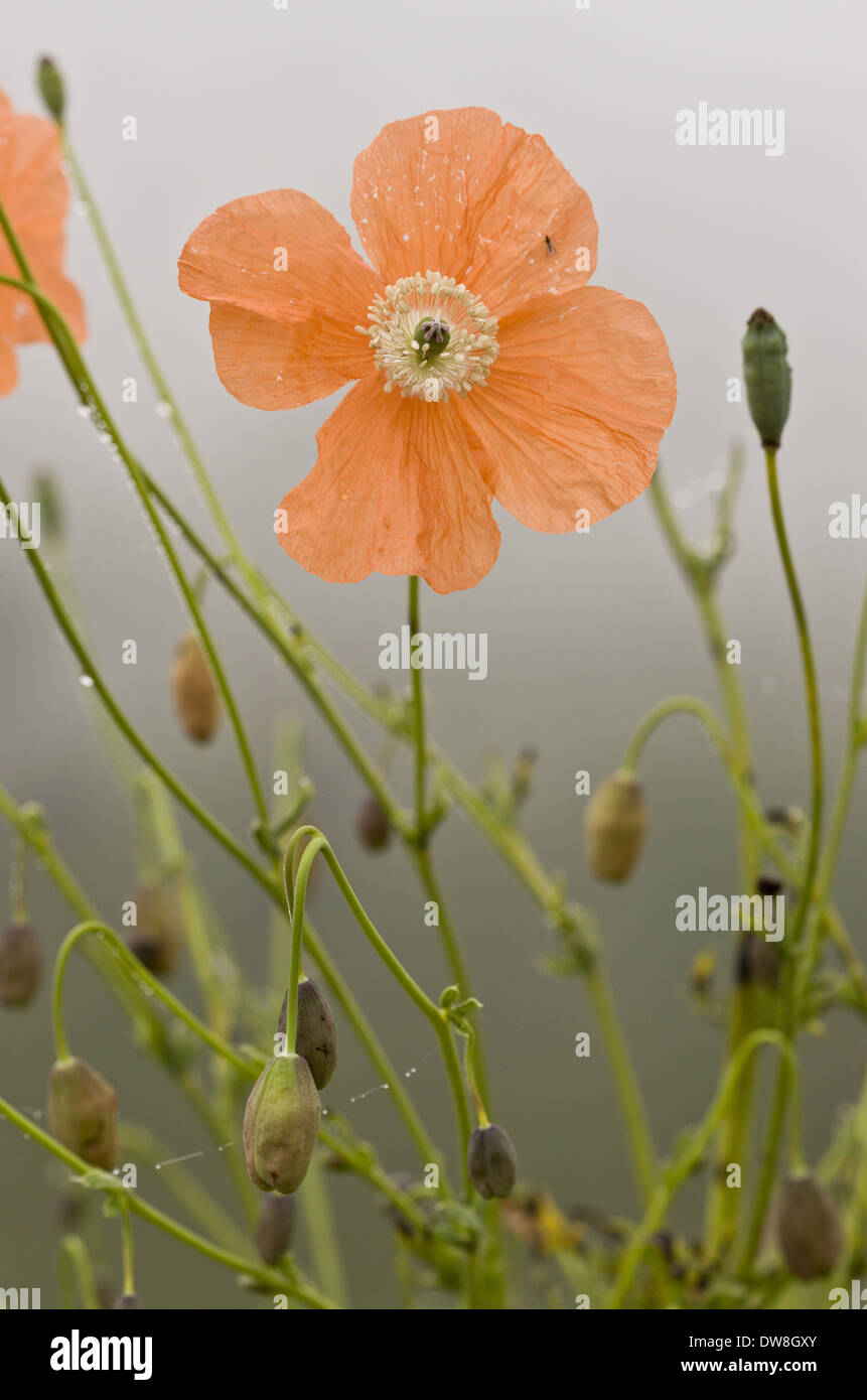 Orange Poppy (Papaver fugax) flowering Cam Pass (Cam Gecidi) Anatolia Turkey July - Stock Image