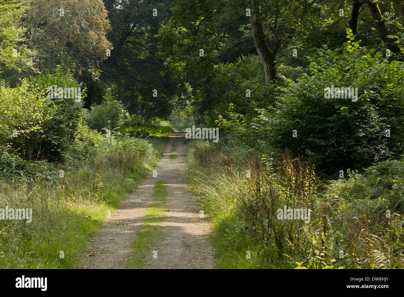 Ride or track in enclosed (fenced) woodland with ride-sides managed for butterflies by cutting Pondhead Inclosure New Forest - Stock Image